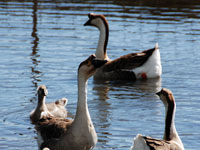 African Geese