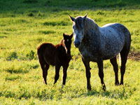 Percheron Mare & Foal