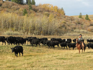 Lucasia Ranch Cattle Drive