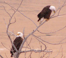 Bald Eagles, Porcupine Hills Spring, 2005
