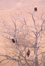 Lucasia Ranch Bald Eagles