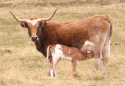 Lucasia Ranch Longhorns